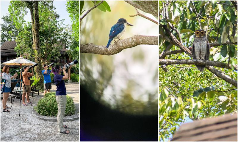 From left to right, resort guests catch glimpses and photos of birds including a collared kingfisher and wood owl. Photo: Coconuts
