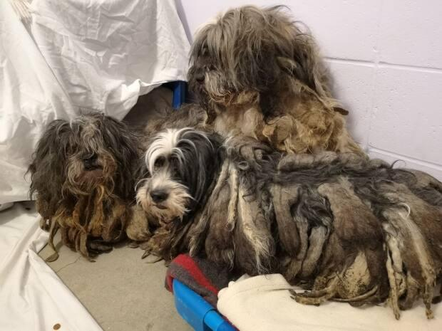 B.C. SPCA say the 103 adult dogs and 16 puppies were matted and malnourished, but the owners were simply overwhelmed and reached out for help