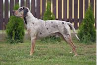 "<p><strong>State Dog: The Catahoula Leopard Dog </strong></p><p>This striking pooch <a href=""https://www.louisiana.gov/about-louisiana/state-symbols/"" rel=""nofollow noopener"" target=""_blank"" data-ylk=""slk:is a cross of the domestic dog"" class=""link rapid-noclick-resp"">is a cross of the domestic dog</a> the Indians of the Catahoula Lake region raised and a Spanish dog that came through the area in the 1500s. </p>"