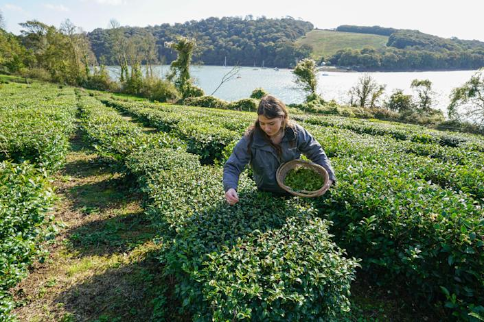 A woman picks tea leaves from bushes in England