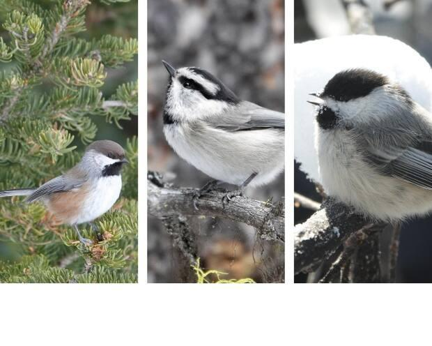 Brian Keating spotted, from left: the boreal, mountain and black-capped chickadee. (Brian Keating - image credit)