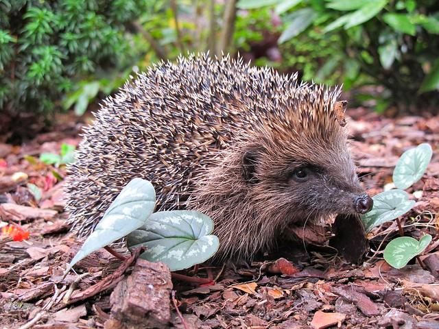 Autumn hedgehog up close and prickly !