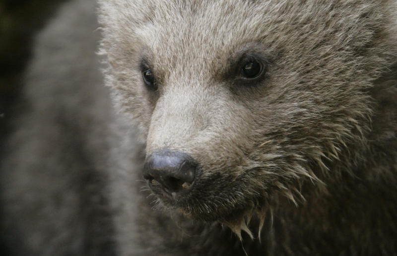 The Syrian brown bear cub Takis plays during the first walk outside the cave at the zoo in Goldau, central Switzerland May 14, 2008. The male cub was born in the zoo on January 26, 2008. REUTERS/Michael Buholzer (SWITZERLAND)