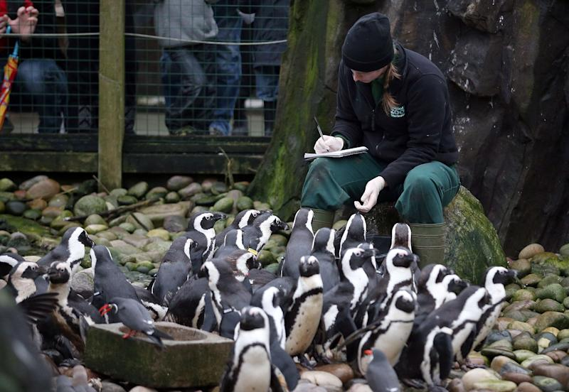 Keeper Pippa Green helps count some of the penguins as part of the annual stock take at Bristol Zoo on January 2, 2013 in Bristol, England. (Photo by Matt Cardy/Getty Images)