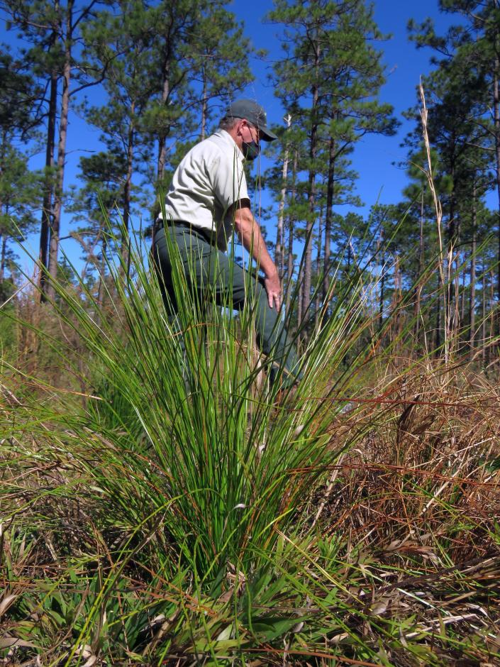 "Silviculturist Keith Coursey walks between a 2-year-old longleaf pine ""grass stage"" seedling and a stand of 80- to 85-foot-tall longleaf pines in the DeSoto National Forest on Wednesday, Nov. 18, 2020. An intensive effort in nine coastal states from Virginia to Texas is bringing back longleaf pines -- armor-plated trees that bear footlong needles and need regular fires to spark their seedlings' growth and to support wildly diverse grasslands that include carnivorous plants and harbor burrowing tortoises. (AP Photo/Janet McConnaughey)"