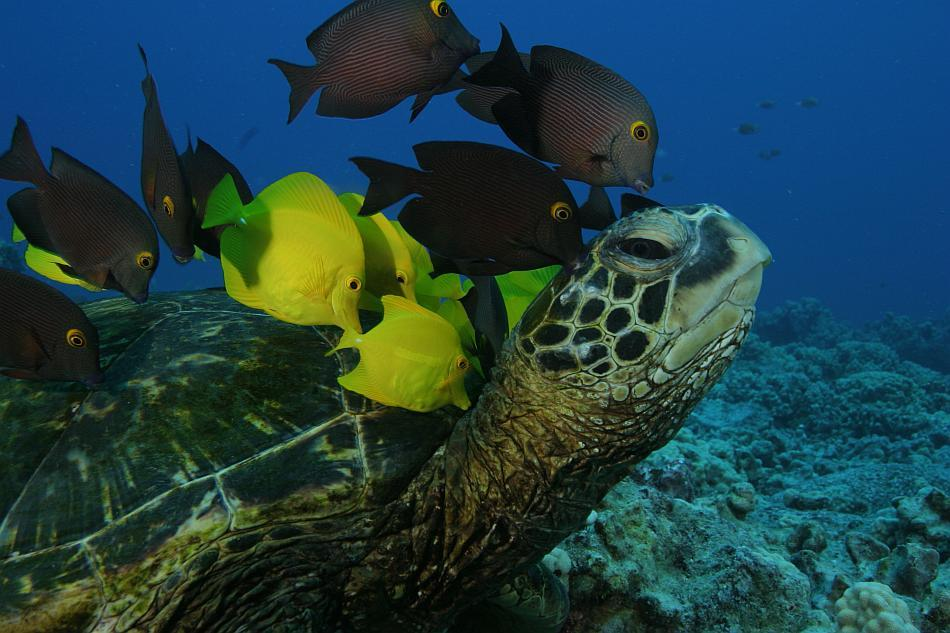 Reef fish nibble algae from a green sea turtle's shell off Hawaiian shores.