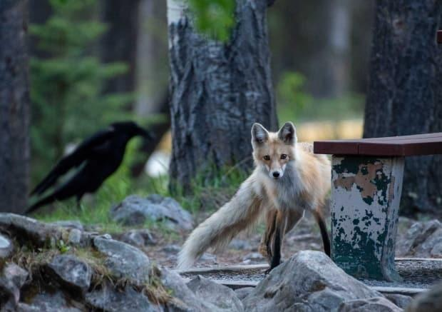 Foxes are omnivores and will snack on a bird occasionally.  (Submitted by Parks Canada - image credit)