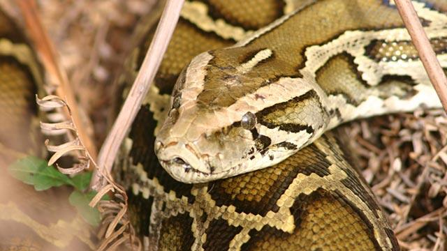 Python Challenge Offers Cash Prizes to Florida Snake Hunters (ABC News)