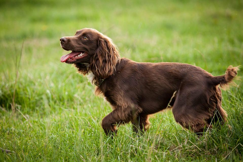 """<p>The <a href=""""https://www.dailypaws.com/dogs-puppies/dog-breeds/boykin-spaniel"""" rel=""""nofollow noopener"""" target=""""_blank"""" data-ylk=""""slk:Boykin Spaniel"""" class=""""link rapid-noclick-resp"""">Boykin Spaniel</a> became South Carolina's official state dog in 1985. For years, Boykins were known only to hunters of waterfowl and wild turkey. Around the early 1900s, the small community of Boykin and its founding resident, Lemuel Whitaker """"Whit"""" Boykin, built an entire breeding program around a single stray dog that showed promise as a skillful duck-hunter. By crossing breeds as the Chesapeake Bay Retriever, Cocker, English Springer, and American Water spaniels, the result was the upbeat companion we know today.</p>"""