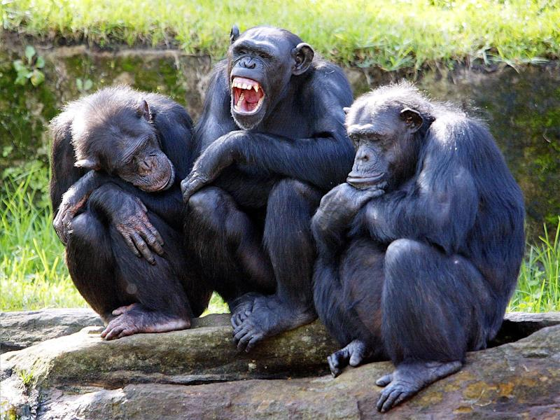 The chimps reportedly struggled to learn that scissors beat paper: Getty