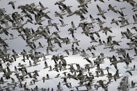 FILE - In this Dec. 13, 2019, file photo thousands of snow geese take flight over a farm field at their winter grounds, in the Skagit Valley near Conway, Wash. The Biden administration on Thursday, Feb. 4, 2021, delayed a rule finalized in President Donald Trump's last days in office that would have drastically weakened the government's enforcement powers under a century-old law protecting most American wild birds. (AP Photo/Elaine Thompson, File)