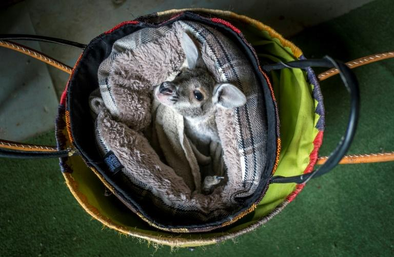 The stranded animals have to be bottle-fed and placed in a surrogate pouch, which needs to be regularly changed because it collects the baby's urine and feces (AFP Photo/ERIC CABANIS)