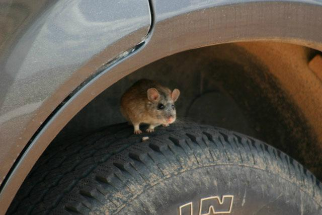 keep mice away from car engine