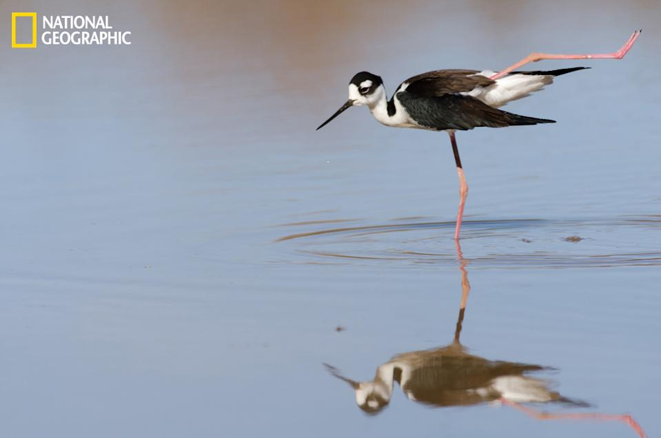 "A black-necked stilt practices its yoga moves. (Photo and caption Courtesy Emily Bristor / National Geographic Your Shot) <br> <br> <a href=""http://ngm.nationalgeographic.com/your-shot/weekly-wrapper"" rel=""nofollow noopener"" target=""_blank"" data-ylk=""slk:Click here"" class=""link rapid-noclick-resp"">Click here</a> for more photos from National Geographic Your Shot."