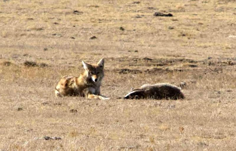 3-coyote-and-badger
