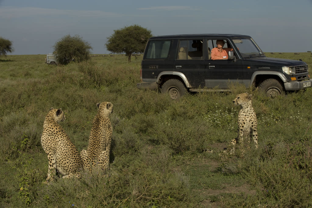 Tanzania, Africa - Leo Kuenkel watches cheetahs.By dissecting never-before-seen footage of two lions' brutally attacking four cheetahs, Lion v. Cheetah sheds new light on the dark underpinnings of the relationship between two of Africa's top predators.
