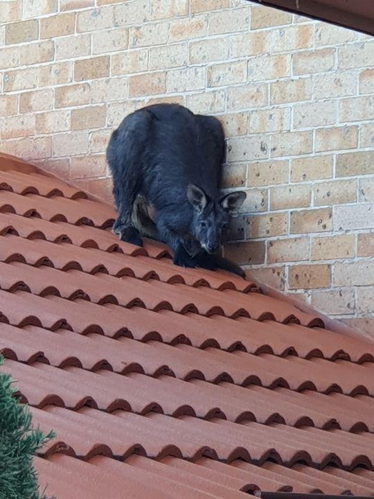 A wallaroo crouches down on a roof in NSW.