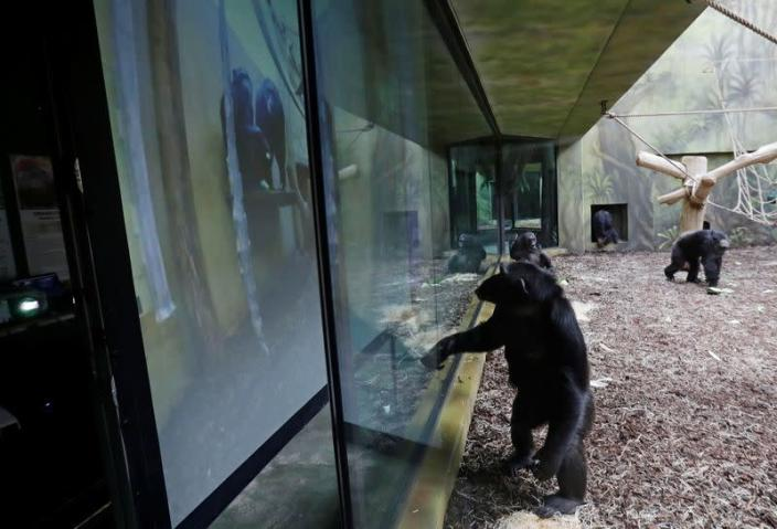 Chimpanzees in locked-down Czech zoos keep in touch over video