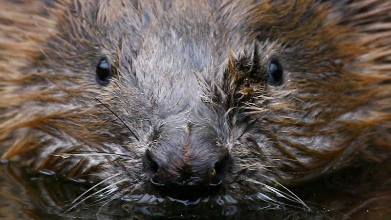 Pregnant beaver found shot dead on riverbank