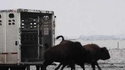 Bison from Grasslands National Park are released into their new home at Wanuskewin. Photo credit: Wanuskewin (CNW Group/Parks Canada)