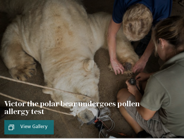 Victor the polar bear undergoes pollen allergy test