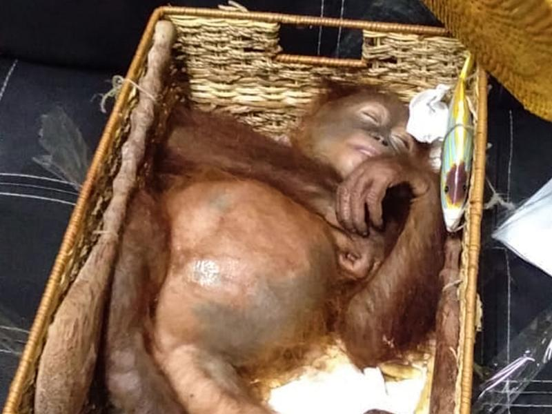 Russian tourist arrested after attempting to smuggle drugged orangutan in airline luggage