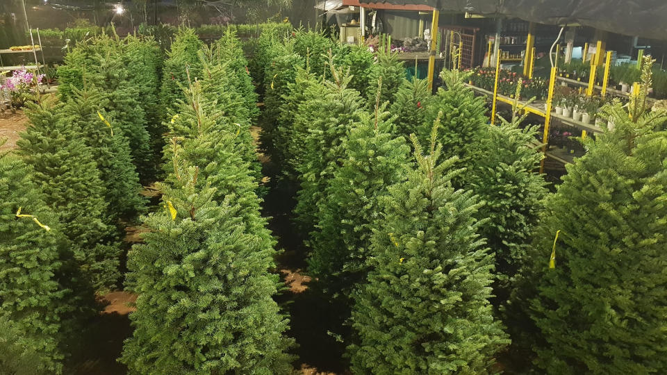 Live Christmas trees. (PHOTO: Bedok Garden & Landscaping)