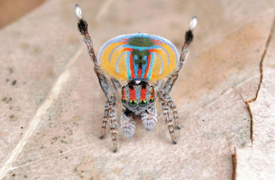 """<p><strong>What it is</strong>: <em>Maratus speciosus</em></p><p><strong>Where it's from</strong>: Southern Australia</p><p><strong>What to know</strong>: Like your great-aunt who lives in South Beach, the coastal peacock spider doesn't believe in dressing down. Made famous by several <a href=""""https://www.youtube.com/watch?v=d_yYC5r8xMI"""" rel=""""nofollow noopener"""" target=""""_blank"""" data-ylk=""""slk:viral videos"""" class=""""link rapid-noclick-resp"""">viral videos</a>, male spiders perform a complex dance routine to <a href=""""https://nature.berkeley.edu/eliaslab/Publications/GirardEtAl2018.pdf"""" rel=""""nofollow noopener"""" target=""""_blank"""" data-ylk=""""slk:court females"""" class=""""link rapid-noclick-resp"""">court females</a>—and just like their namesake bird, their fabulous colors play a huge role.</p>"""