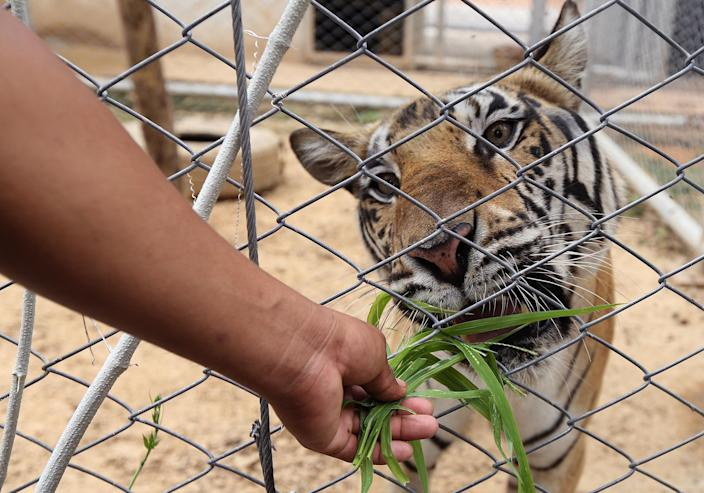 <p>A Thai National Park official feeds lalang leaves for the excretion system to one of the 137 confiscated tigers taken from Tiger Temple, inside a cage at Khaozon Wildlife Breeding Center in Ratchaburi province, Thailand, July 1, 2016. (Photo: NARONG SANGNAK/EPA) </p>