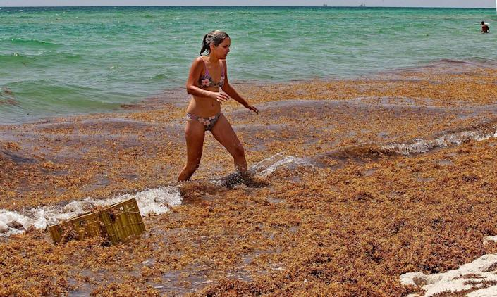 Monica Madrigal, a Miami Beach resident, find her way out of the ocean through a thick layer of slimy seaweed.