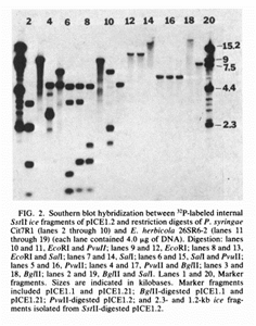 Southern blot hybridization from Dr. Orser's doctoral work publication, in which Dr. Orser made a significant discovery in the area of agronomic crops(4)