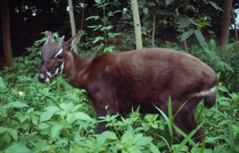 """In this undated photo released by the international conservation group WWF, a saola pauses in the jungle of Vietnam. A new nature reserve in Quang Nam, central Vietnam, raises hope for the survival of the recently discovered and critically endangered antelope-like species called the saola, an official said Monday, April 18, 2011. The saola looks like a small deer or antelope with two horns, even though it's locally called an Asian """"unicorn."""" (AP Photo/WWF)"""