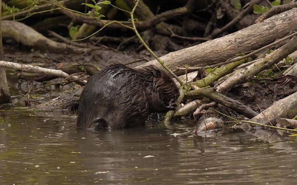 A picture of a beaver kit - Environment Agency