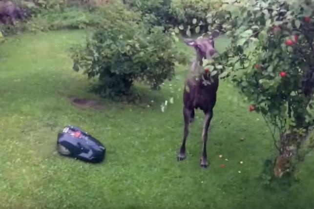 Who do you think would emerge the victor in a showdown between a robot lawn mower and a moose? Someone in Norway recently found out when they sent their grass-cutting machine into battle after catching the animal stealing apples off their tree.