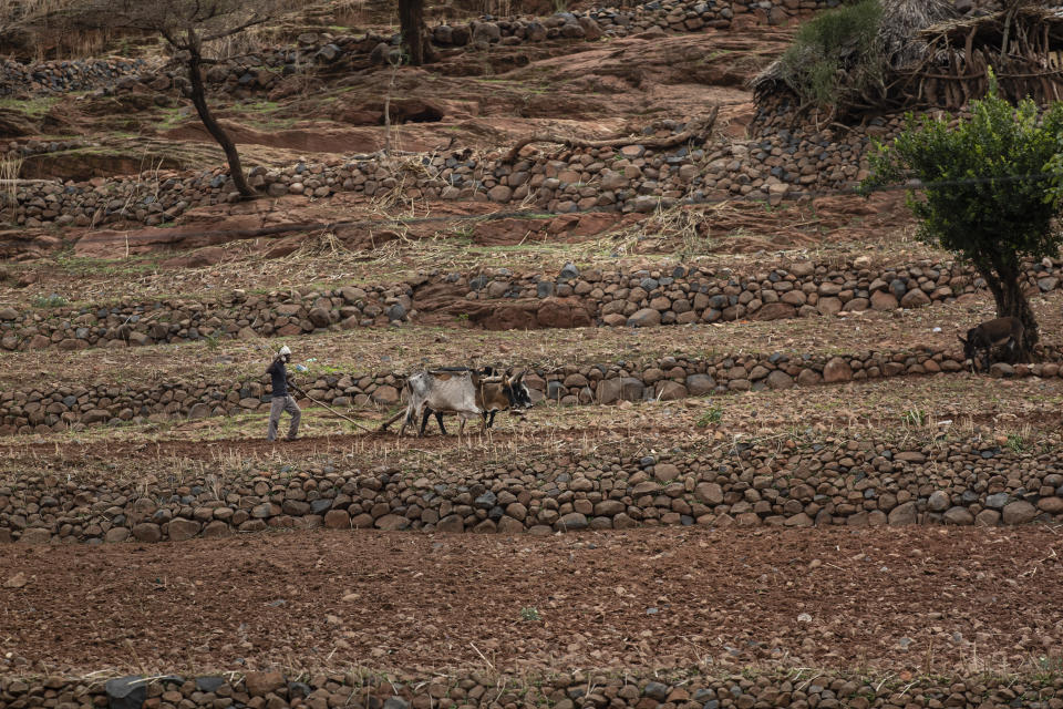 A farmer uses oxen to plough terraced land by the side of a road leading to the town of Abi Adi, in the Tigray region of northern Ethiopia, on Tuesday, May 11, 2021. The war in Tigray started in early November, shortly before the harvest season, as an attempt by Ethiopian Prime Minister Abiy Ahmed to disarm the region's rebellious leaders. (AP Photo/Ben Curtis)