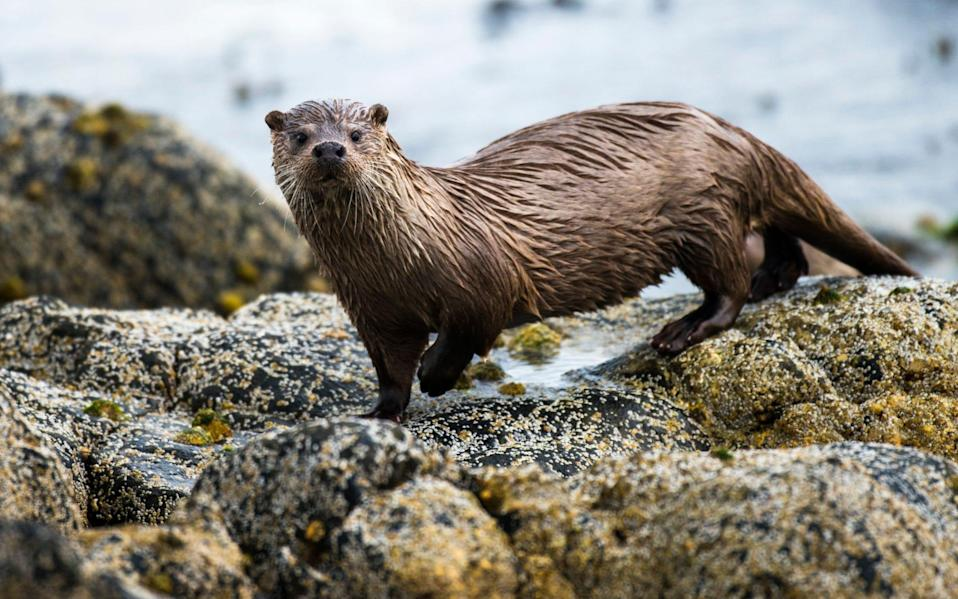 Otters will be given habitat on an old flooding ground - James Warwick