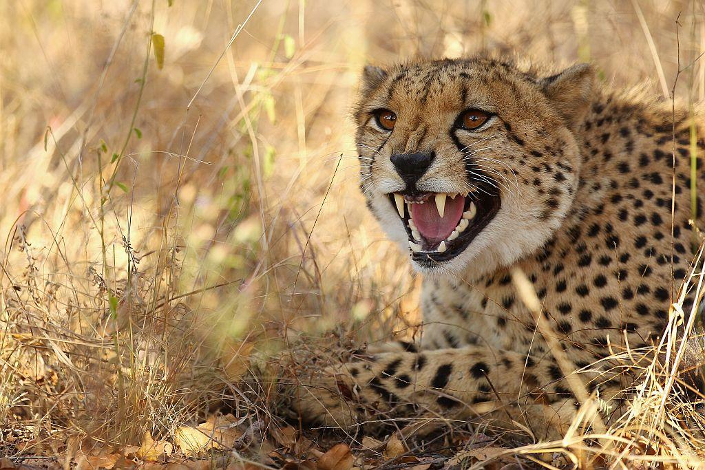 A cheetah hisses in Edeni Game Reserve, a 21,000 acre wilderness area with an abundance of game and birdlife located near Kruger National Park in South Africa.