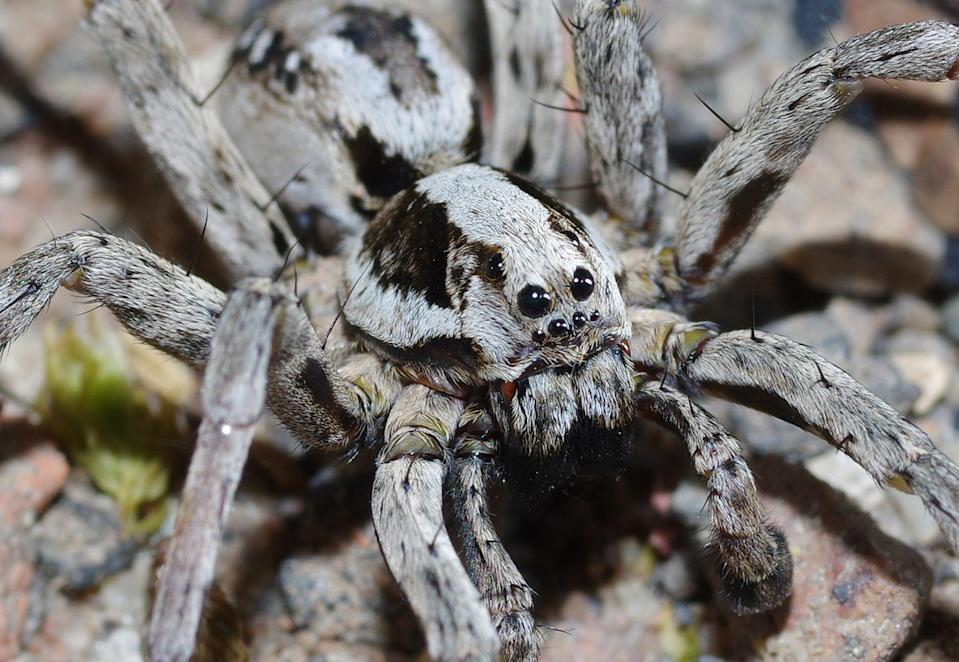 With excellent eyesight, camouflage and speed, the Great Fox-Spider Alopecosa fabrilis is one of the largest of the Wolf-Spider Lycosidae family of spiders (Getty)