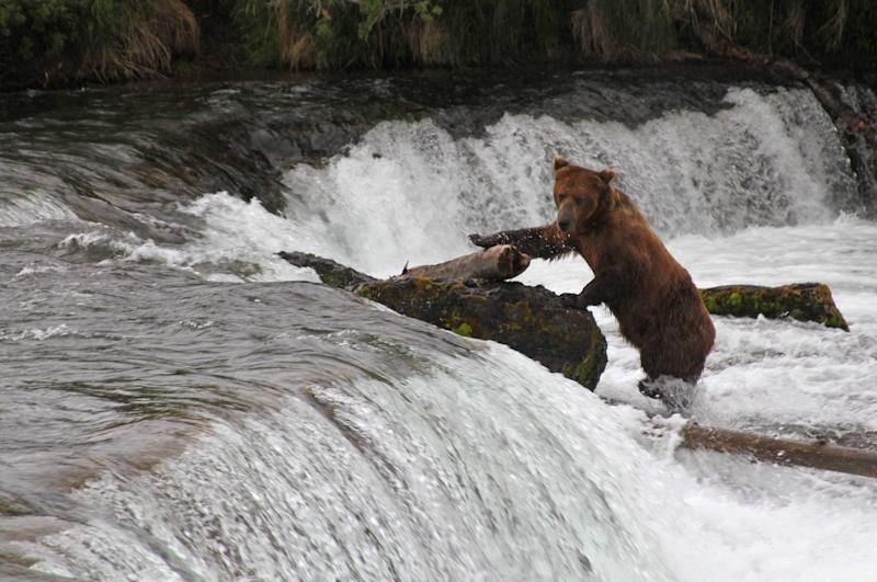 In this photo taken July 4, 2013, in Katmai National Park and Preserve, Alaska, a brown bear climbing on top of Brooks Falls for a better angle at salmon swimming upstream. It's expensive and difficult to reach the park about 250 miles west of Anchorage, and explore.org has again set up high definition webcams to livestream the daily activities of the bears at the park. (AP Photo/Mark Thiessen)