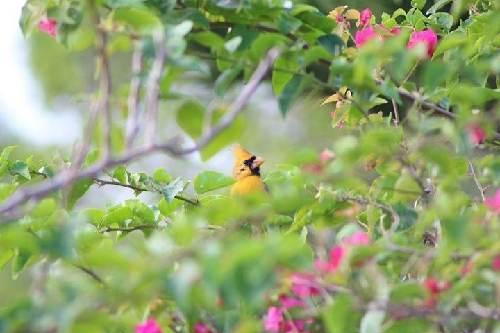 A yellow cardinal was spotted in Port St. Lucie Saturday morning. Tracy Workman said the bird, who she named Sunny, was seen in the area of Prima Vista Boulevard and Floresta Drive.