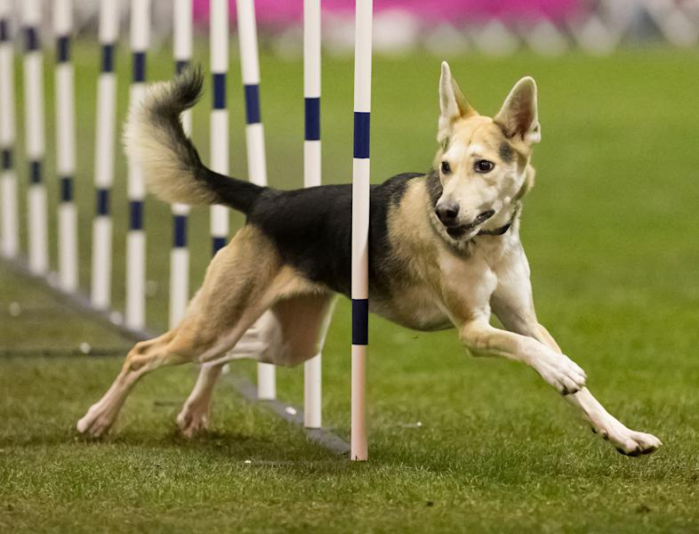 In this Dec. 16, 2012 photo provided by Great Dane Photos, Roo! weaves through obstacles during agility competition in Orlando, Fla. Roo!, a husky mix adopted from an animal shelter by dog trainer Stacey Campbell, will compete in the Westminster Kennel Club's new agility competition in February 2014. In a show dominated by purebreds, mixed-breed owners see the competition as a singular chance to showcase what everyday dogs can do. (AP Photo/Great Dane Photos, Amy Johnson) NO SALES
