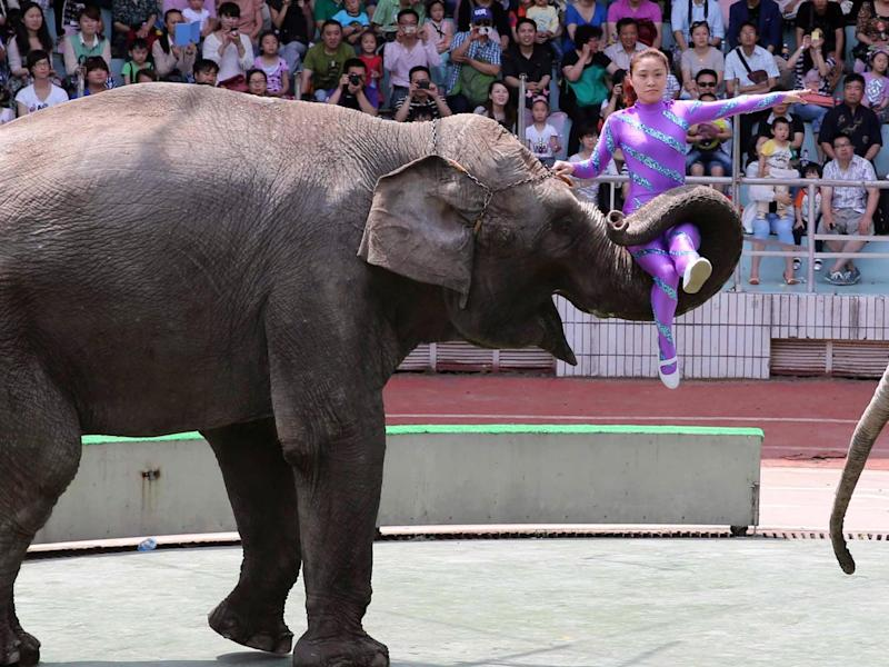 China imports African elephants to use in circuses and zoos; since 2012 it has imported more than 100: Getty