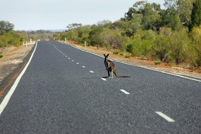 Pictured is a kangaroo in the middle of a NSW rural road.