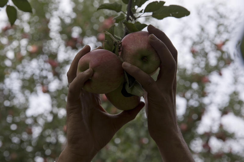 In this Sunday, Oct. 6, 2019, photo, a Kashmiri farmer plucks apples inside his orchard in Wuyan, south of Srinagar Indian controlled Kashmir. The apple trade, worth $1.6 billion in exports in 2017, accounts for nearly a fifth of Kashmir's economy and provides livelihoods for 3.3 million. This year, less than 10% of the harvested apples had left the region by Oct. 6. Losses are mounting as insurgent groups pressure pickers, traders and drivers to shun the industry to protest an Indian government crackdown. (AP Photo/Dar Yasin)