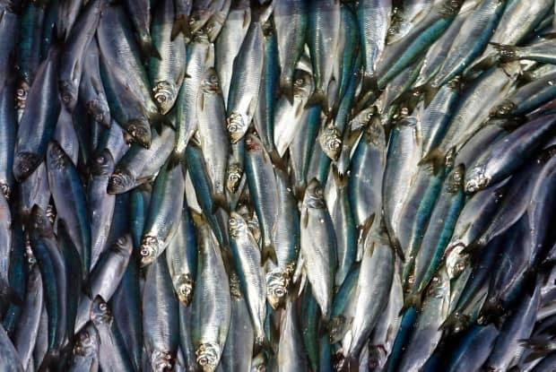 Herring are unloaded from a fishing boat in Rockland, Maine, in this file photo from July 8, 2015. Herring fisheries in Nova Scotia are delayed this season as fishermen bargain over price per pound, and great white sharks make their presence known off Nova Scotia. (Robert F. Bukaty/The Associated Press - image credit)