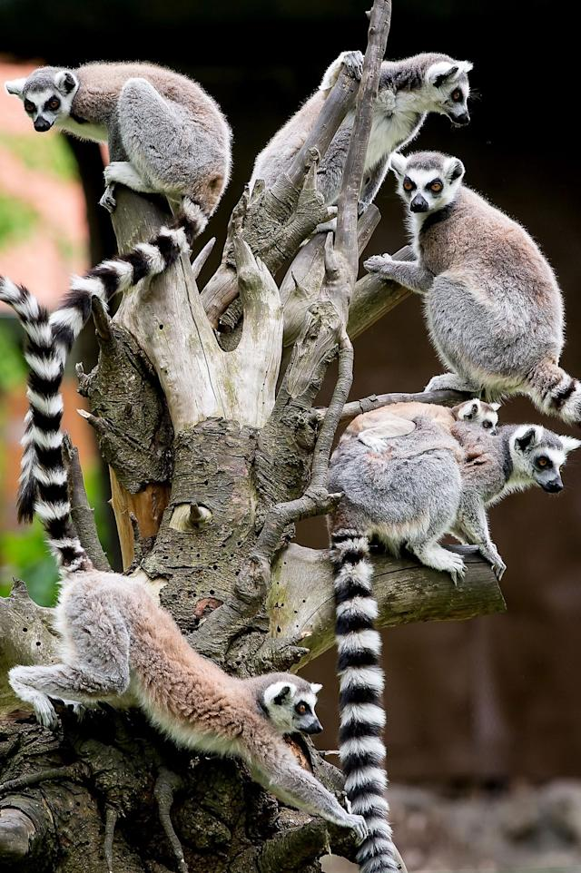 <p>A flock of young lemurs climb a tree at their enclosure in the Wroclaw Zoo, in Wroclaw, Poland, 08 May 2017. Three baby lemurs were reportedly born at the zoo over the past few weeks. (Macie J. Kulczynski/EPA) </p>