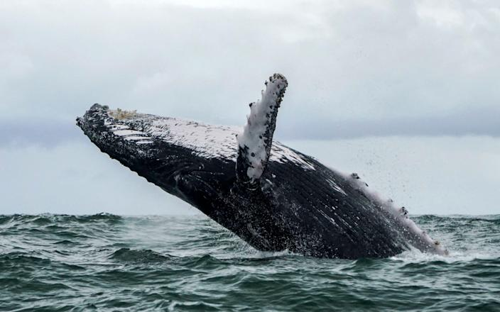 Whales have large mouths, but throats so narrow they wouldn't be able to swallow a human - AFP