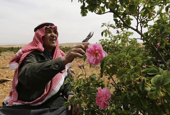 A Syrian picks Damask Roses (Rosa Damascena), which are used to make rose water, in the village of Marah, north of the capital Damascus, on May 11, 2016 (AFP Photo/Louai Beshara)
