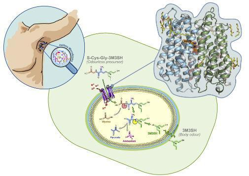 <em>Scientists have discovered exactly what causes BO (Picture: University of York & Oxford)</em>