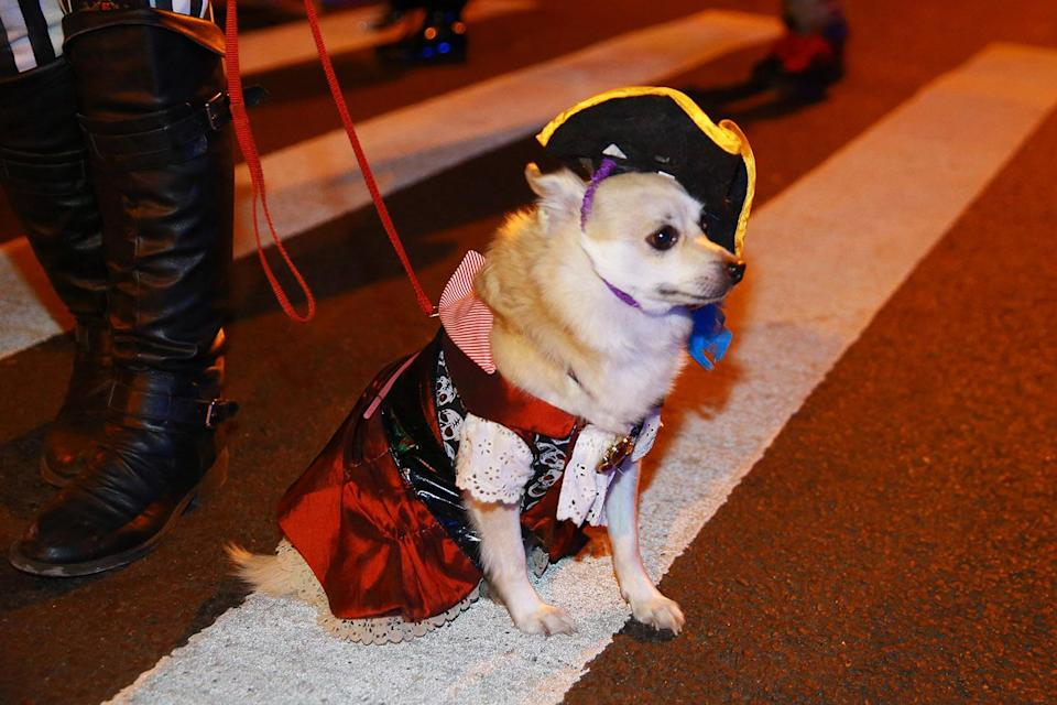 <p>This little four-legged pirate is camera shy at the 44th annual Village Halloween Parade in New York City on Oct. 31, 2017. (Photo: Gordon Donovan/Yahoo News) </p>